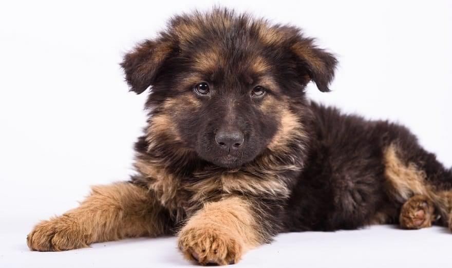 German Shepherd Puppy Sensitive Stomach