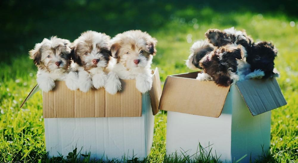 Havanese Puppy Development