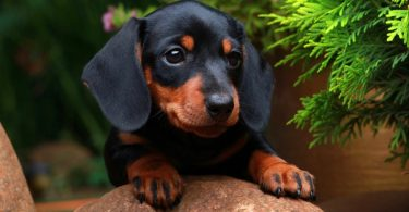 How Much To Feed A Dachshund Puppy