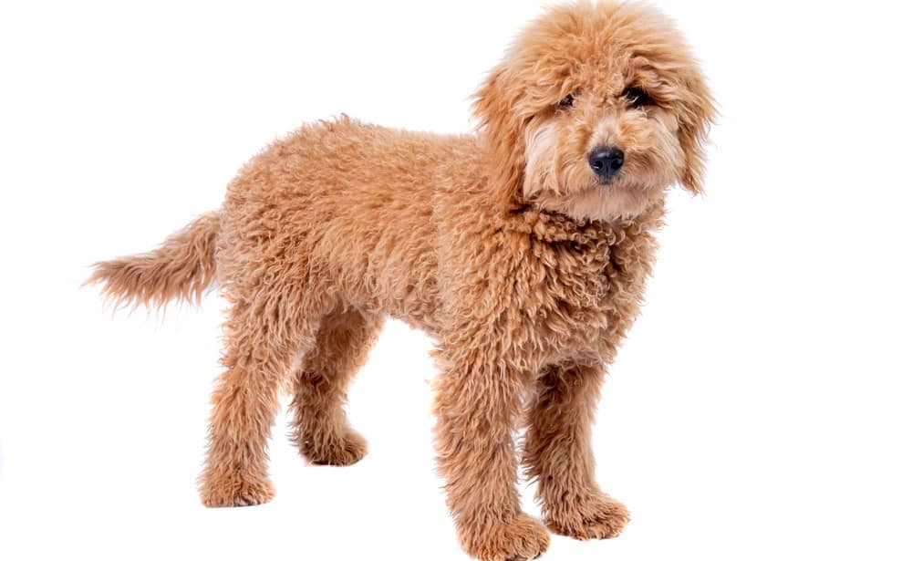 How Much To Feed A Goldendoodle