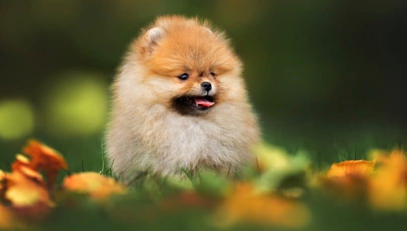 How Much To Feed A Pomeranian Puppy