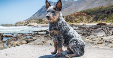 How Much To Feed Blue Heeler