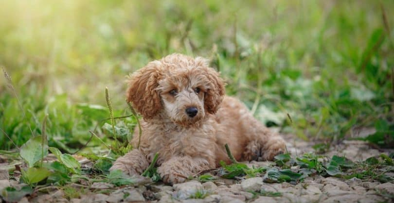 How Much To Feed Poodle Puppy
