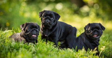How Much To Feed Pug