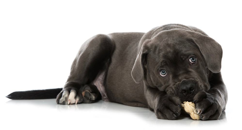 How Strong Is Cane Corso Bite