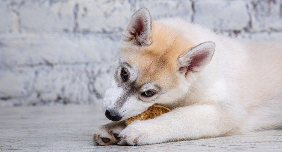 Husky Puppy Sensitive Stomach