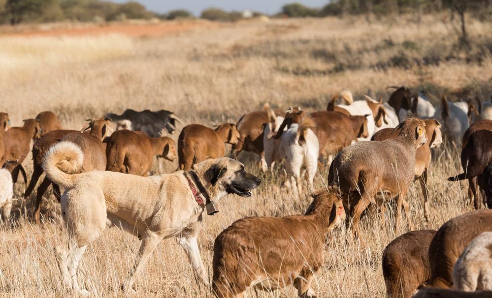 Kangal Bite Injury