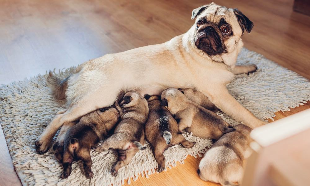 Newborn Pug