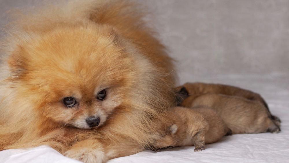 Pomeranian Newborn