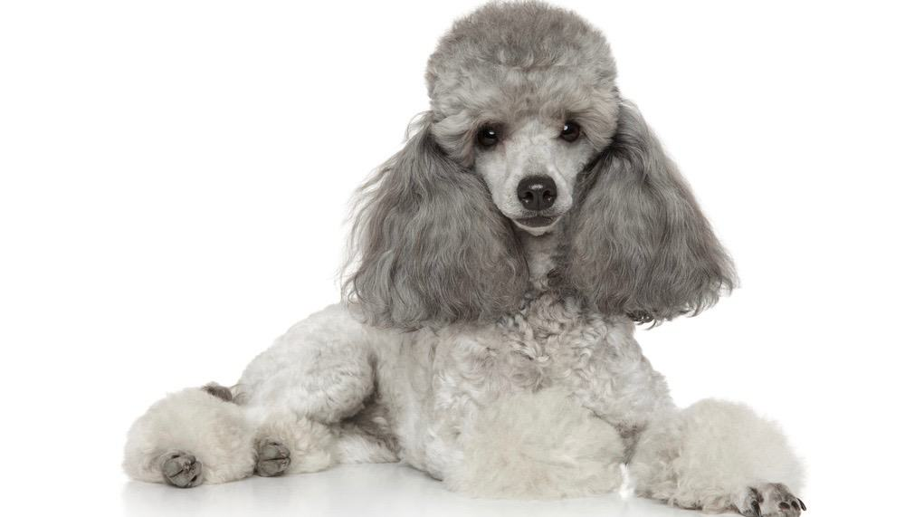 Poodle Exercise