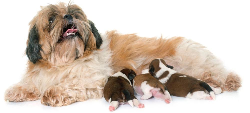 Shitzu Puppy Feeding Chart