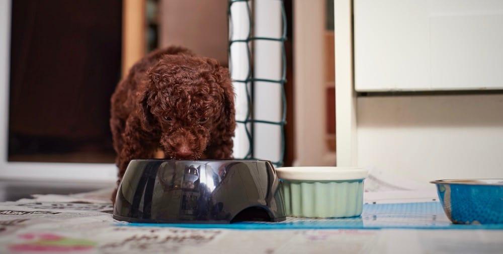 Toy Poodle Feeding Chart