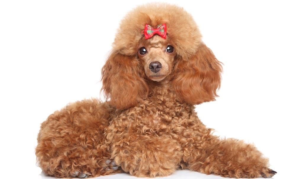 Toy Poodle Puppy Food