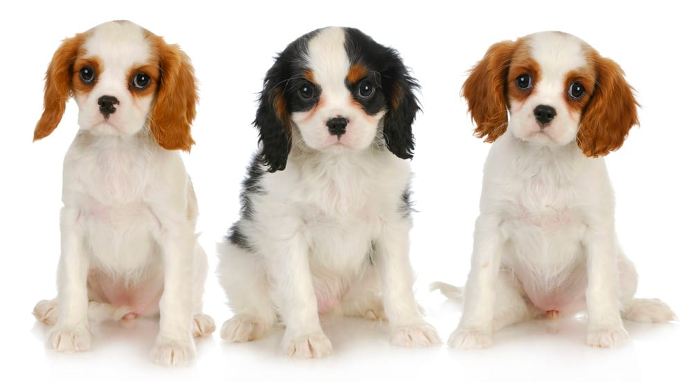 When Do Cavalier King Charles Spaniel Stop Growing
