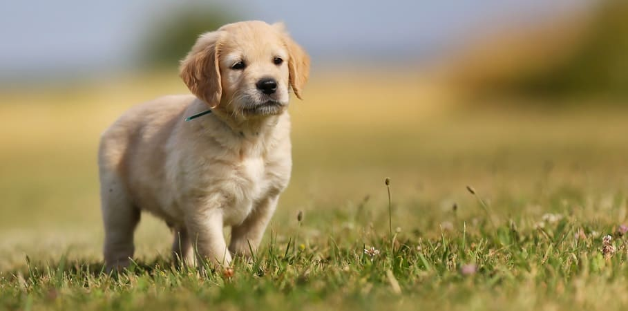 6 Week Old Golden Retriever Puppy