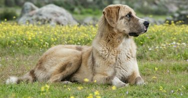 Anatolian Shepherd Weight Chart