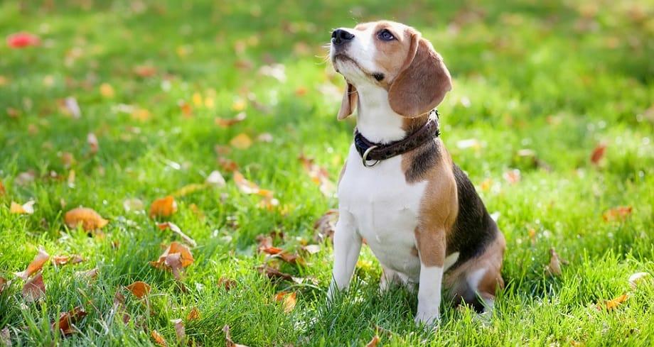Beagle Growth Factors