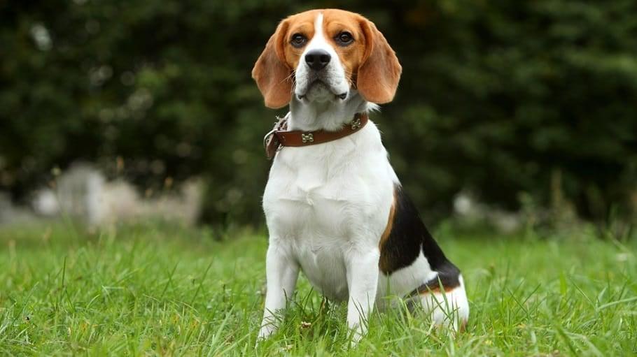 Beagle Weight Measure