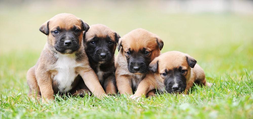 Malinois Puppy Feeding