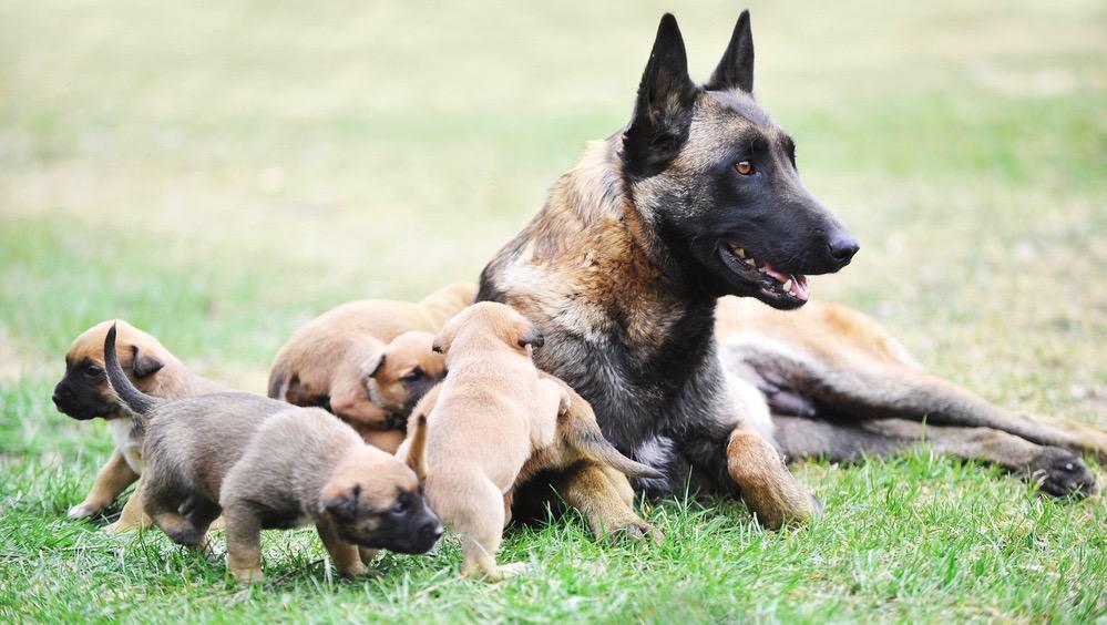 Best Dog Food for Belgian Malinois Puppy Feeding Chart