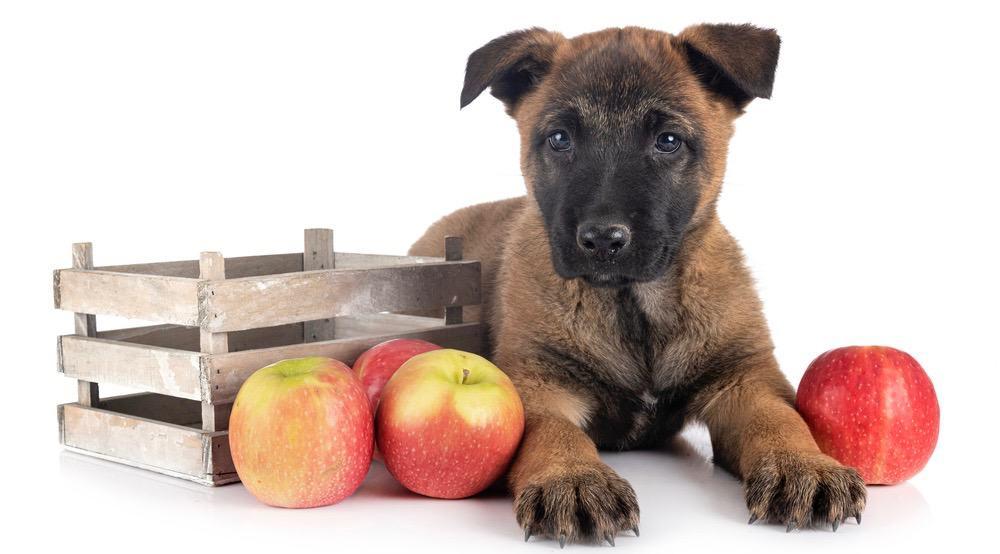 Belgian Malinois Puppy Feeding Schedule