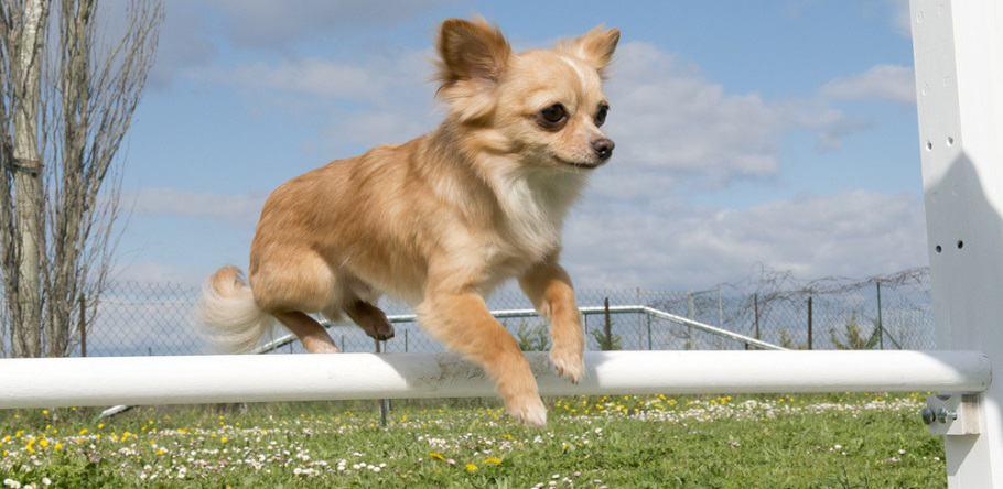 Chihuahua Full Grown