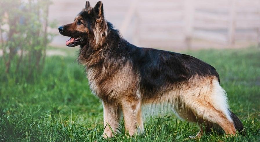 German Shepherd Growth Factors