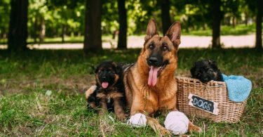 German Shepherd Pregnancy