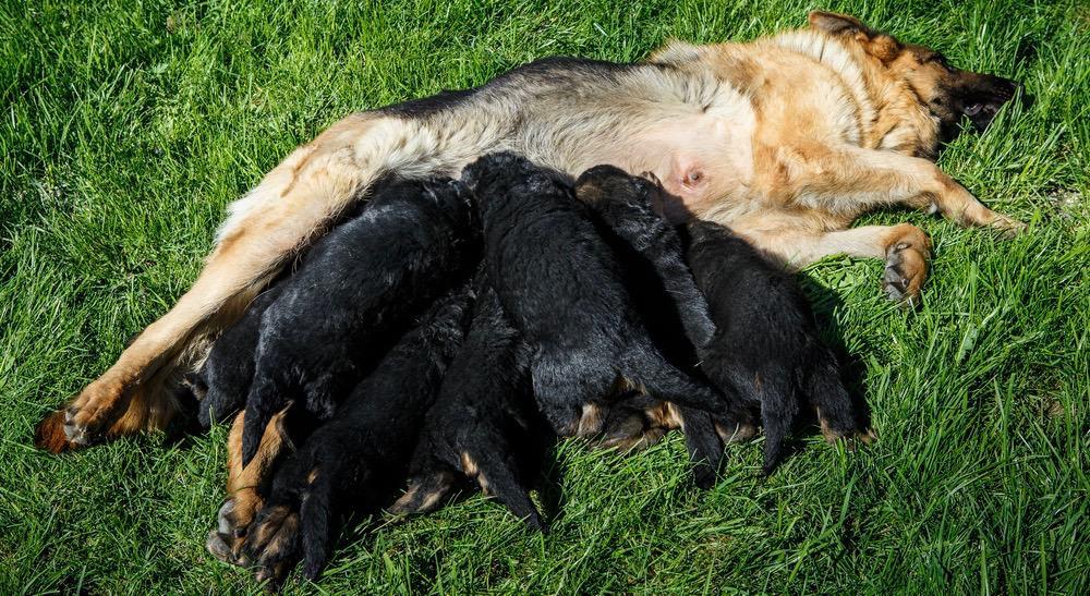 German Shepherd Pregnancy Signs