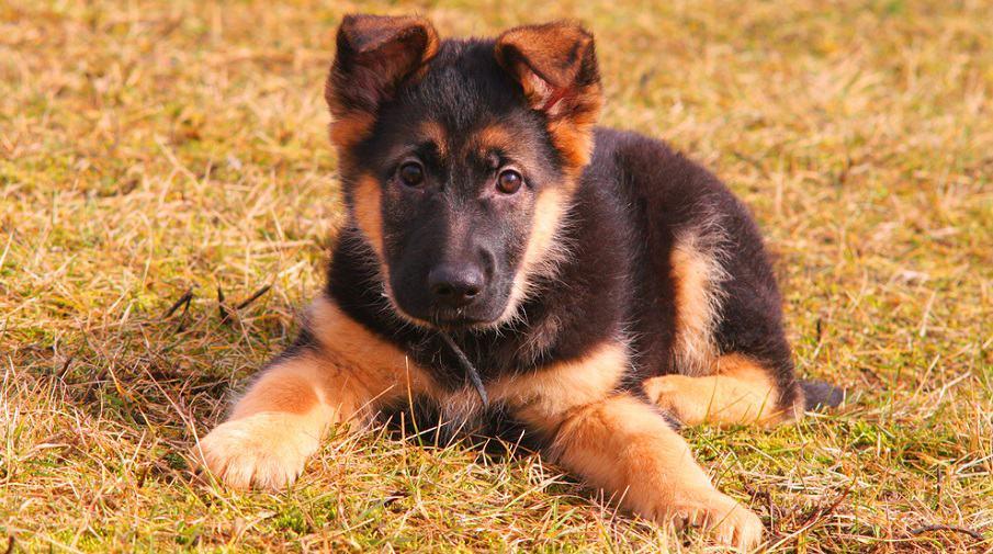 German Shepherd Puppy Nutritional Needs