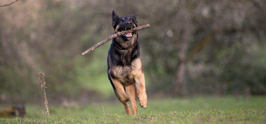 German Shepherd Weight Management