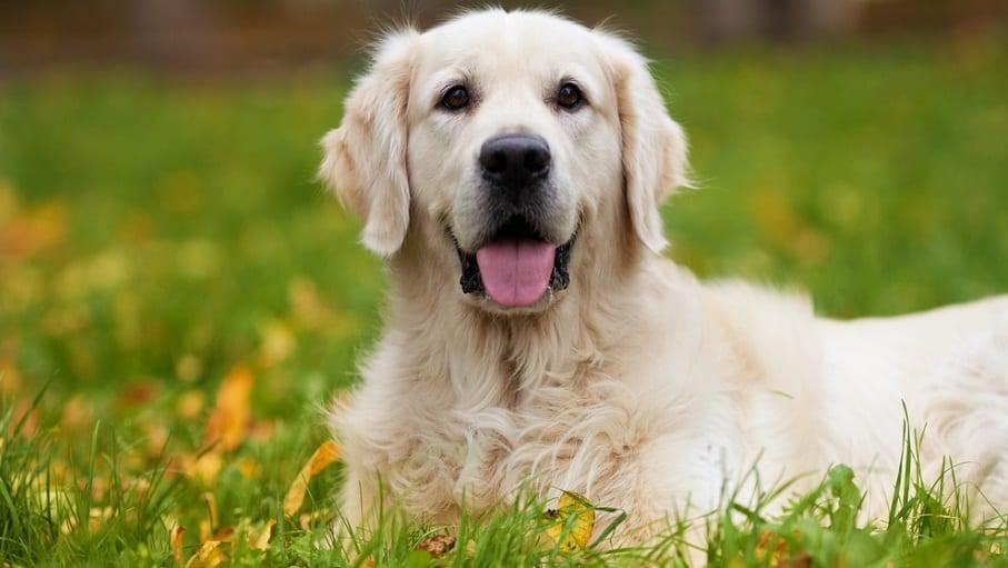 Golden Retriever Puppy Nutritional Needs