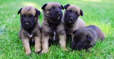 How Much To Feed A Belgian Malinois