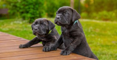 How Much To Feed A Cane Corso