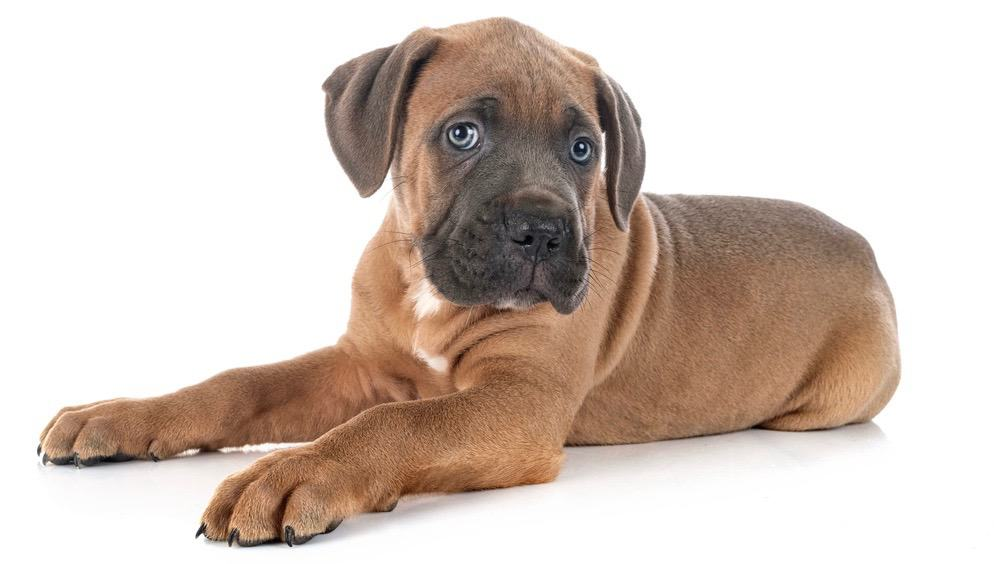 How Much To Feed Mastiff