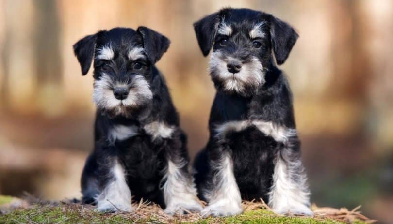 How Much To Feed Miniature Schnauzer