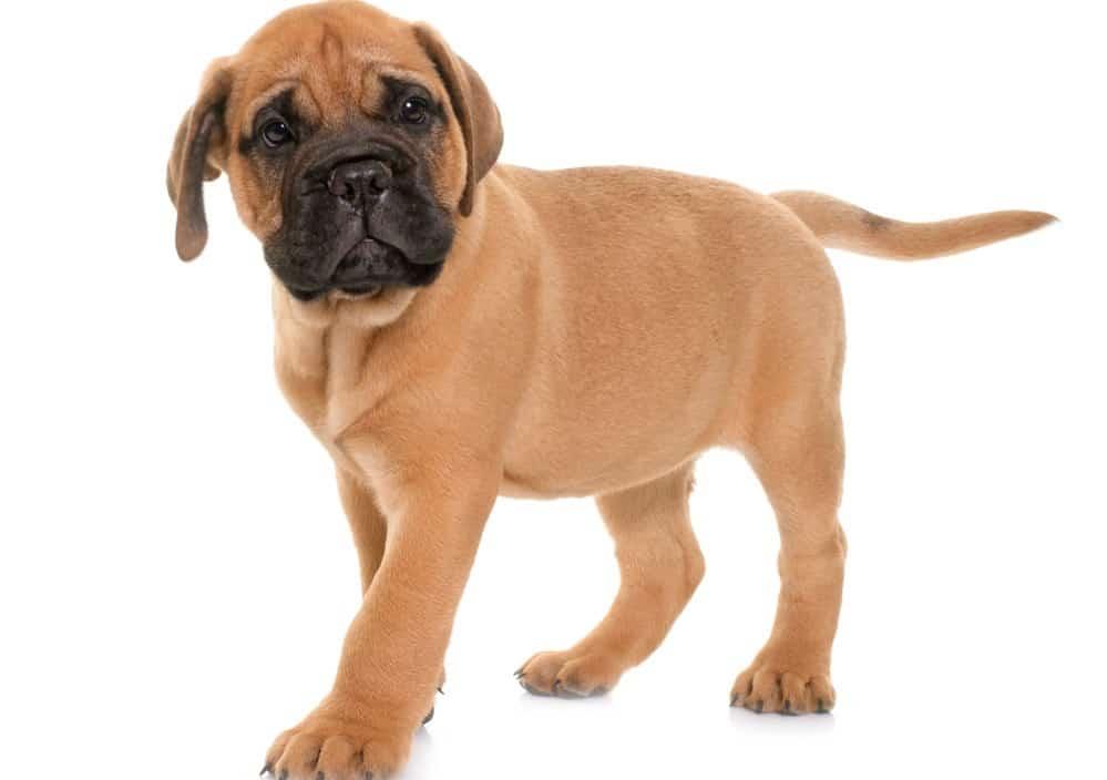 Mastiff Puppy Feeding Chart