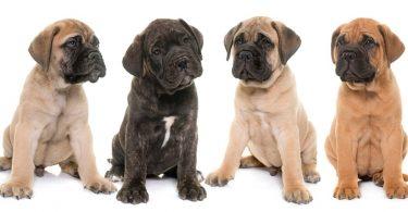 Mastiff Puppy Feeding Schedule