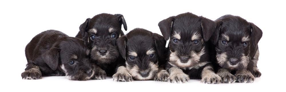 Miniature Schnauzer Puppy Feeding Chart