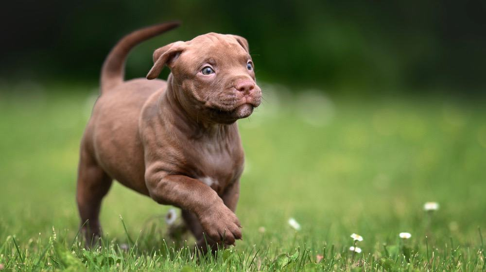 Pitbull Pregnancy Stages