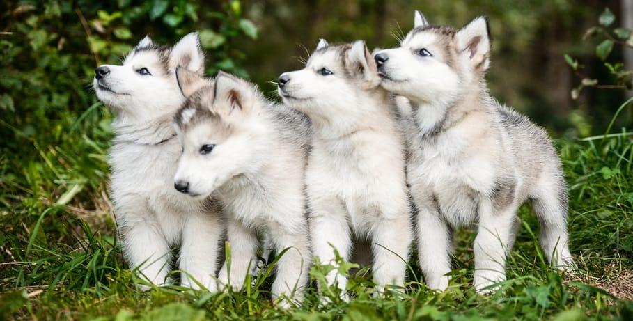 When Do Huskies Stop Growing
