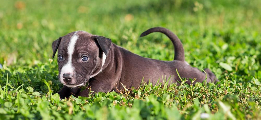 American Staffordshire Terrier Diet