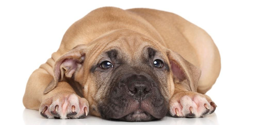 American Staffordshire Terrier Fully Grown