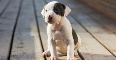 American Staffordshire Terrier Growth Chart