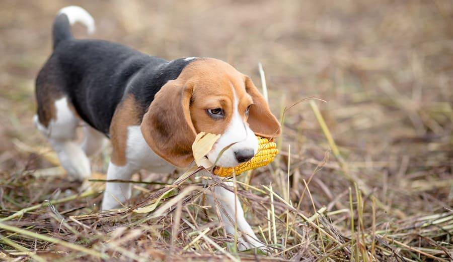 Beagle Puppy Calorie Requirement