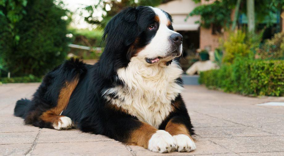 Bernese Mountain Dog Weight