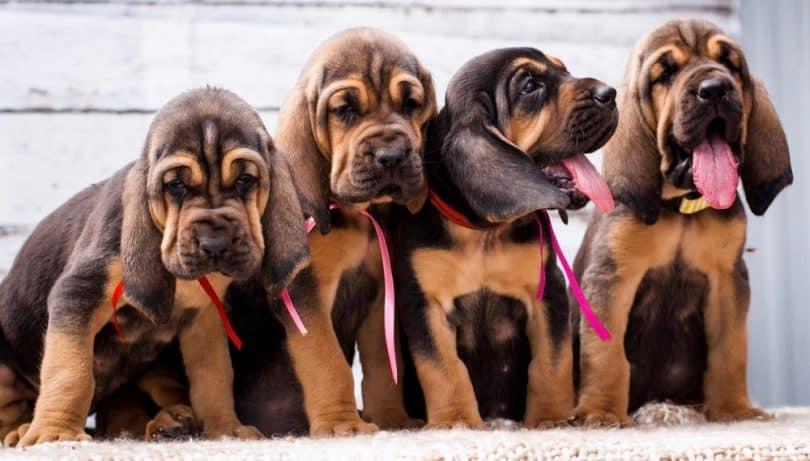 Bloodhound Growth Chart
