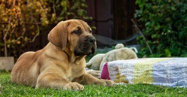 Boerboel Puppy Growth Chart