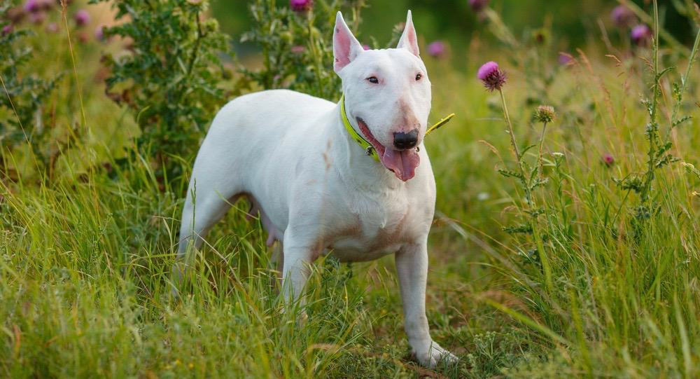 Bull Terrier Cost