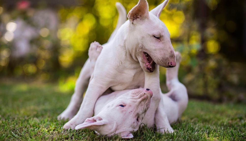 Bull Terrier Development